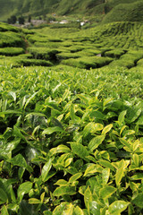 Fresh Tea Leaves -  Malaysia