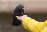 Human feeding pigeon dove poster