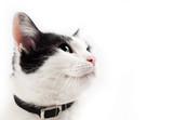 retrato de gato mirando con espacio en blanco poster
