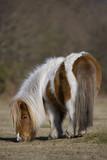 Shetland Pony poster