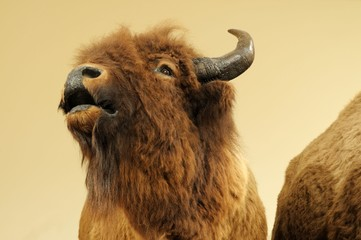 Close up image of wild bison