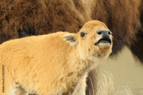 Close up isolated image of wild bison calf
