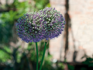 Macro of two blooming decorative onion flower heads