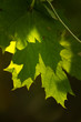 Translucent green leaves on a defocused background