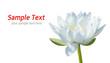 Detaily fotografie bílé waterlily na bílé