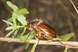 Chafer beetle amphimallon falleni sitting on stem poster