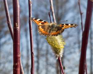 The first spring butterfly
