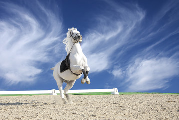 White horse rearing in sand arena