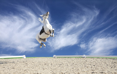 A beautiful white horse jumping high in the sky