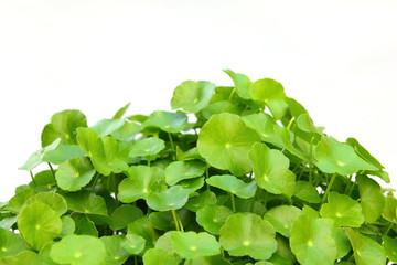 Gotu kola(Centella asiatica), arthritis herb