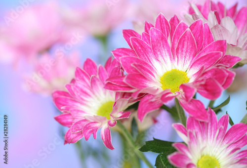 Close-up of   chrysanthemum flower.