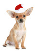 Funny chihuahua puppy in christmas hat on a white background