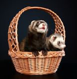 Two Ferrets in wattled basket
