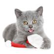british shorthair kitten in Santa red hat