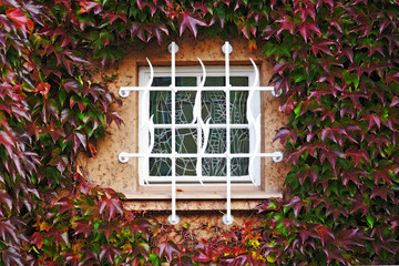 Window in a wall perfectly covered by colorful Boston ivy leaves
