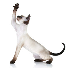 Devon Rex cat pulls paw upwards