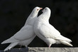 two loving white doves