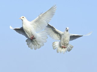 white dove in free flight under blue sky