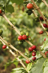 Red colombian coffee bean .