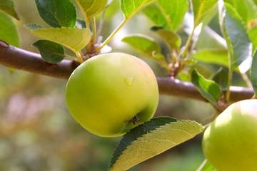 Apple green fruit tree branch