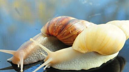 African gian land snail Achatina