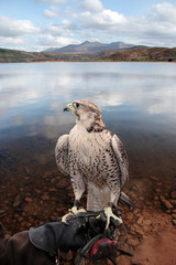 falcon perched on gloved hand with lake scene