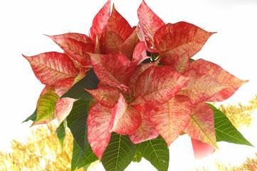 Weihnachtsstern Poinsettien im Gefäß