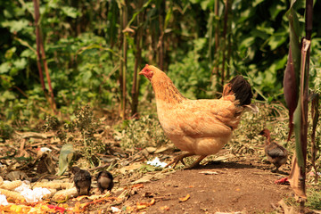 A Hen and their Chicks in the Wild