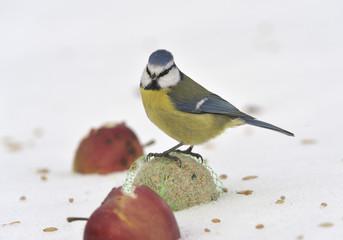 Blue tit on apples