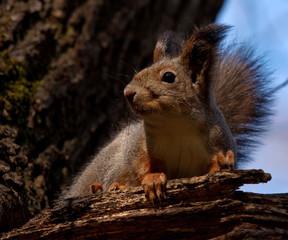 Squirrel - ninja