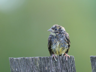 Juvenile bunting on the village fence