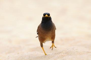 Common Myna pacing on the sand beach
