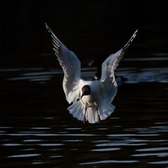 Black-headed gull flying on the lake