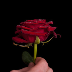 beautiful red rose in hand