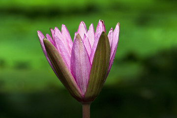 Australian water lily flowering
