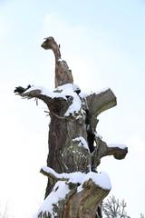 Heilige Eiche auf den Lahnbergen in Marburg