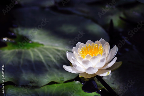 Water lilly under the light