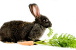 Black bunny and a carrot, isolated on white background