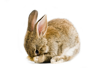 Brown baby bunny isolated on white background