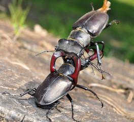 beetles combat