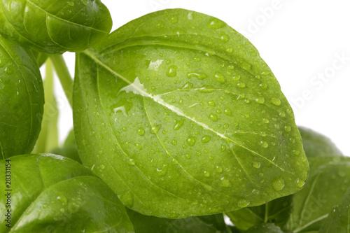 Fototapeta feuilles de basilic fraîches