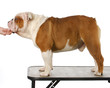 bulldog standing on grooming table