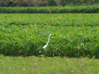 White stork in a green background.