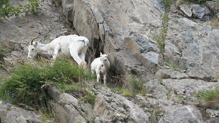 Dall Sheep baby and mother on cliff P HD 1557