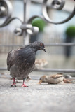 pigeons on city street (shallow DOF)