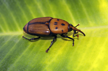 Red palm weevil beetle (Rhynchophorus ferrugineus) on a leaf