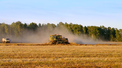 Ripened buckwheat being gathered by combine harvester