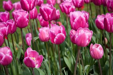 Pink tulips in green field