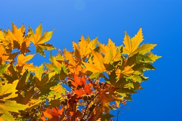 red autumn sycamore  leaves on a blue sky background
