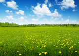 Fototapety field of spring flowers and sunny day